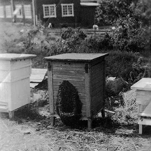 Lappi-Hunaja on perheyritys, jonka mehiläistarhausperinteet ulottuvat yli 75 vuoden päähän.
