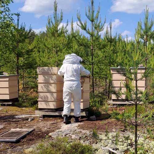 Mehiläispesä live pyörii koko kesän Rauman Lapista