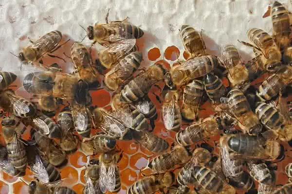 Eine Biene kann ca. 0,1g Nektar auf einmal zum Nest transportieren.