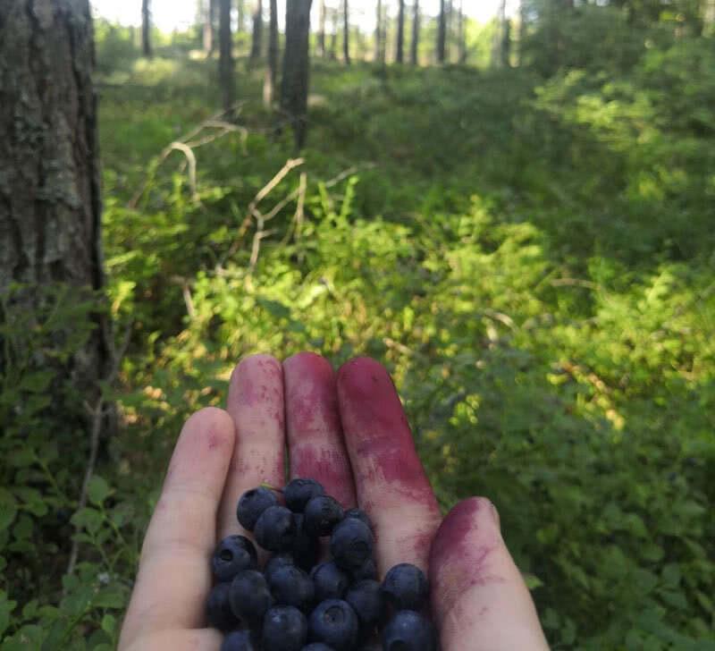 mustikkaa metsässä