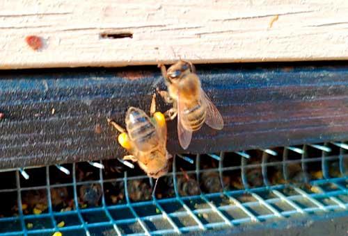 Mehiläisemme jo pörräilevät innokkaasti kevään lämmössä.