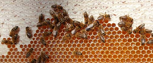 Using honey is a tasty way to save the world