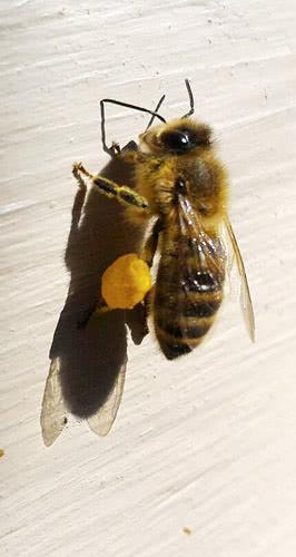 mehilainen ja siitepolypallerot
