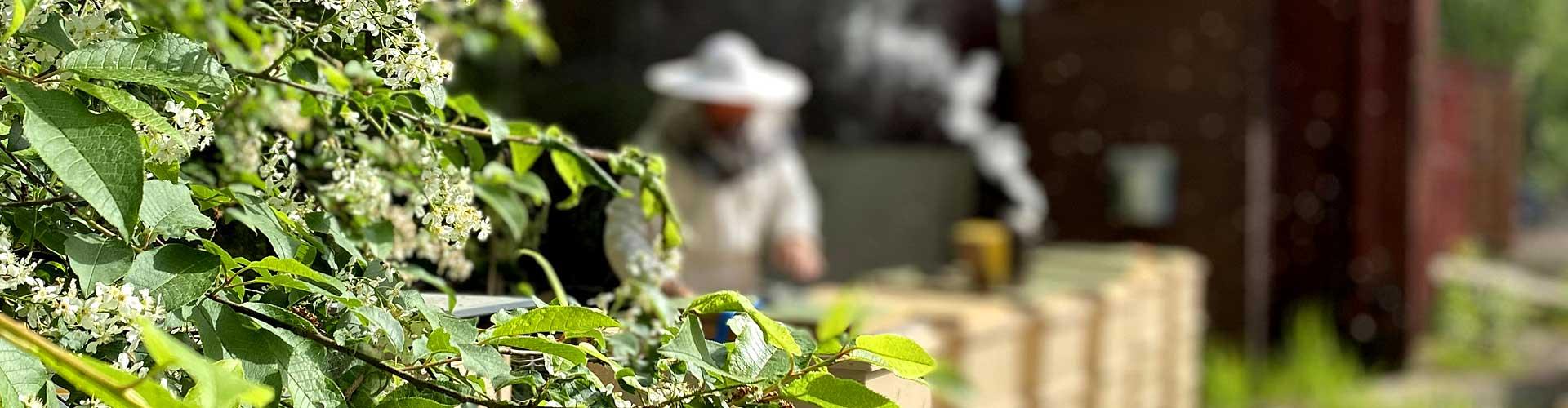 Im Sommer sammelt der Imker die fertigen Waben, um sie zu schleudern.